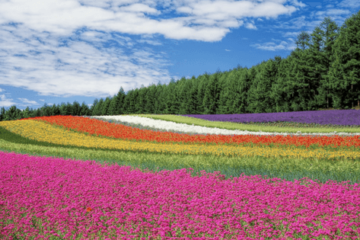 Furano, Furano travel guide, flower farm, farm tomita