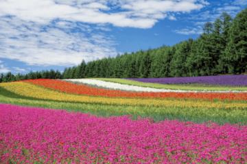 Furano, Furano travel guide, flower farm, farm tomita