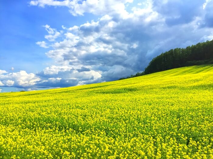 furano travel guide, hills, yellow flowers, cloud, furano, hokkaido