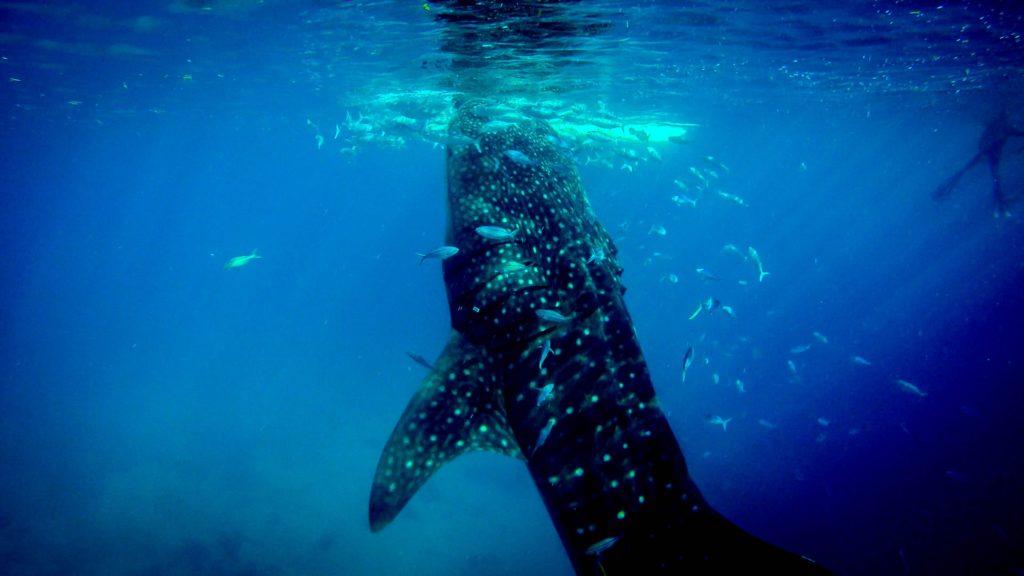 diving, whale shark