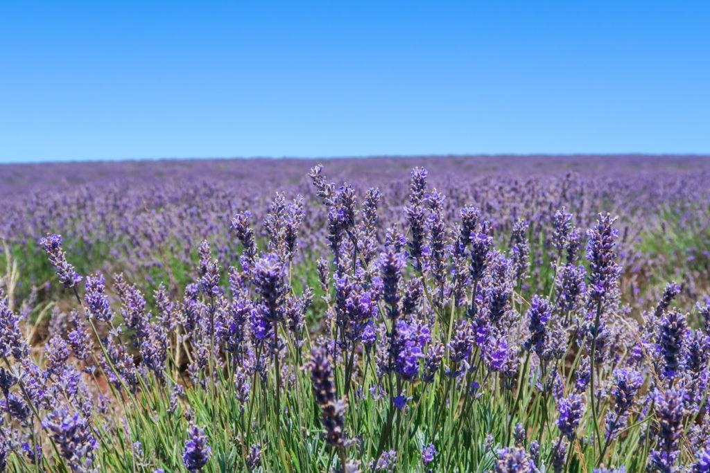 Purple lavender at bridestowe lavender farm tasmania